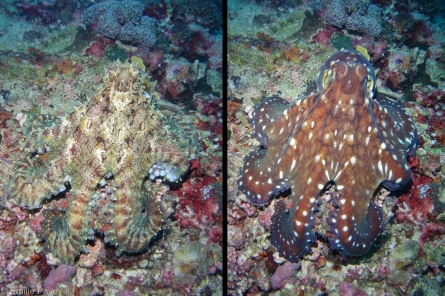 Colour-changing octopus