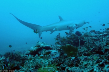 Thresher shark Malapascua
