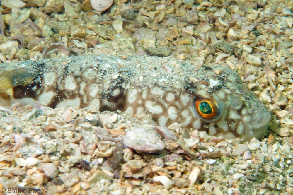 HK Pufferfish buried