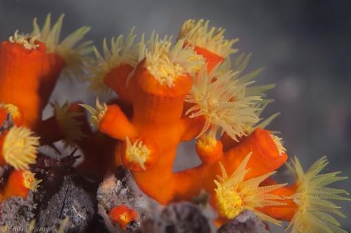 Orange cup corals HK