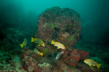 Ribbon weetlips at Kerikite house reef