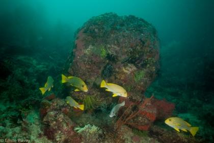 Ribbon weetlips at Kerikite house reef