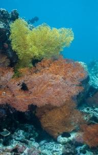Gorgonians at Kerikite House Reef