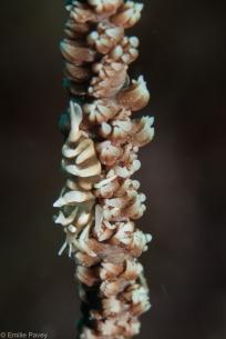 Whip coral shrimp Kerikite