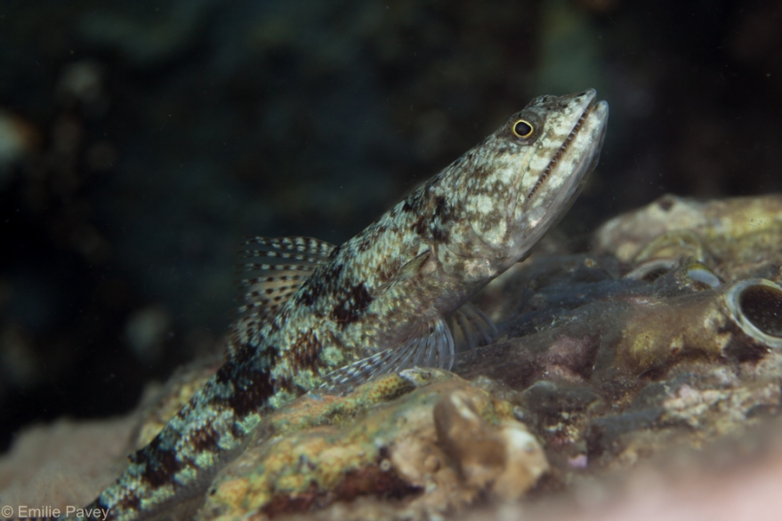 Lizardfish kerikite