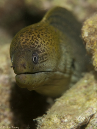 Green moray Kerikite