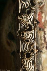 Detail of a clam shell, Kerikite
