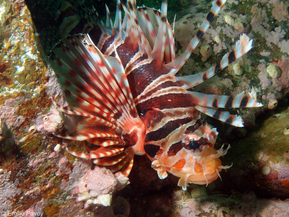 Lionfish Zebra Turkeyfish Hong Kong