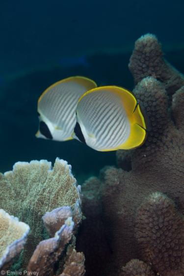 Butterflyfish pair at Mactan