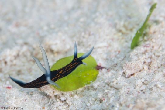 Toboastra gracilis, Mactan
