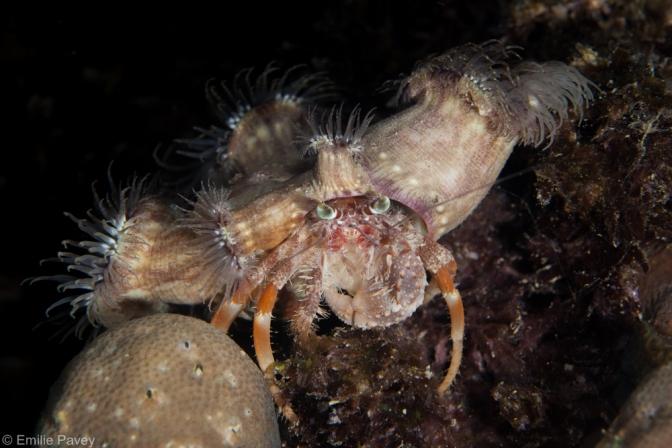 Hermit crab with anemones