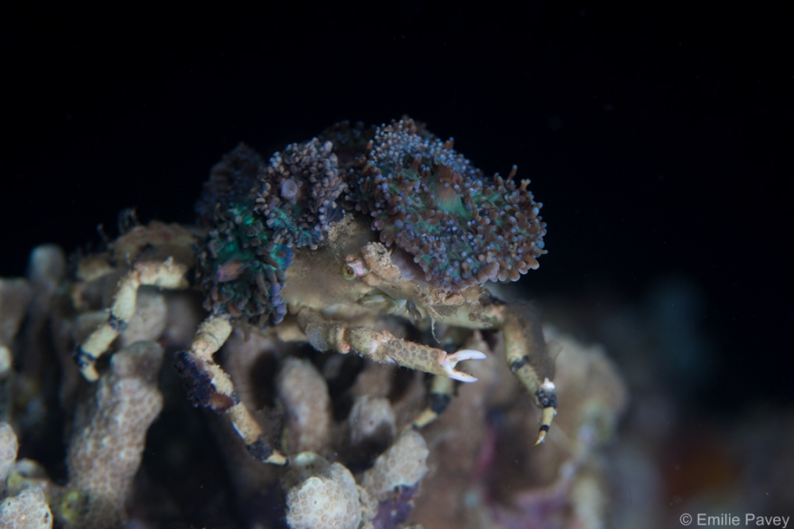 Crab with anemone