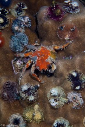 Crab and Christmas tree worms