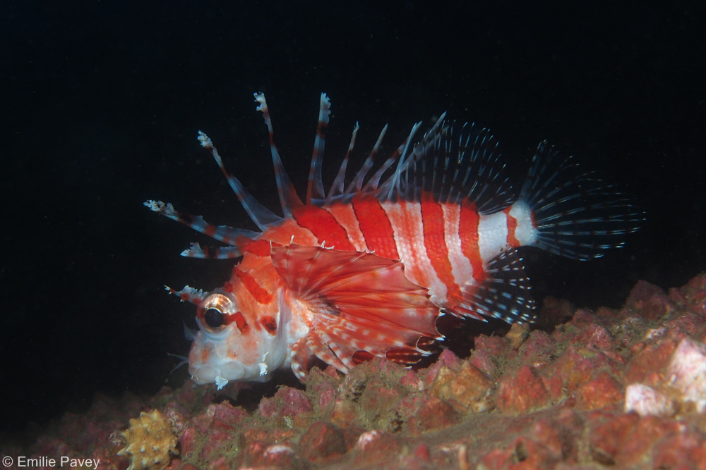 Zebra turkeyfish at night Hong Kong