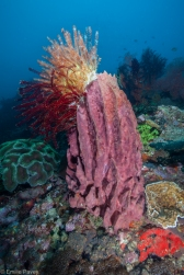 Sambawan barrel sponge