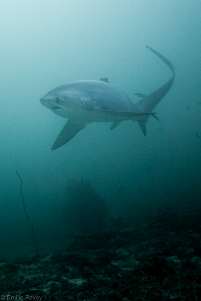 Thresher shark-7817