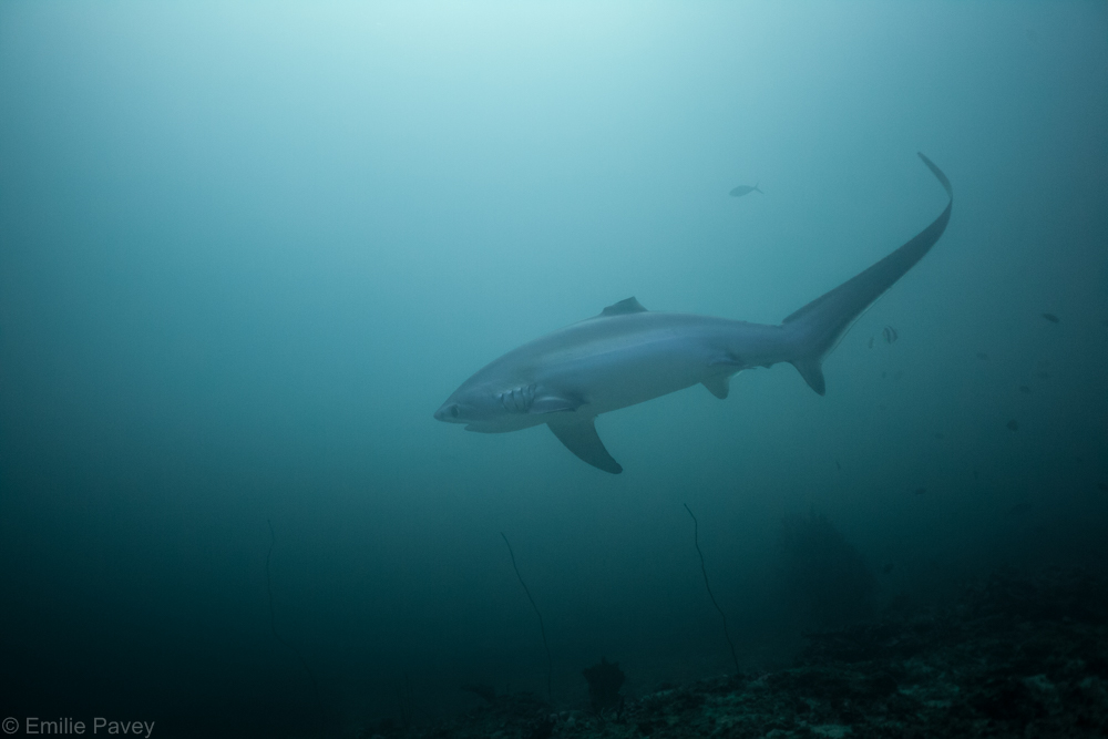 Thresher shark-7821