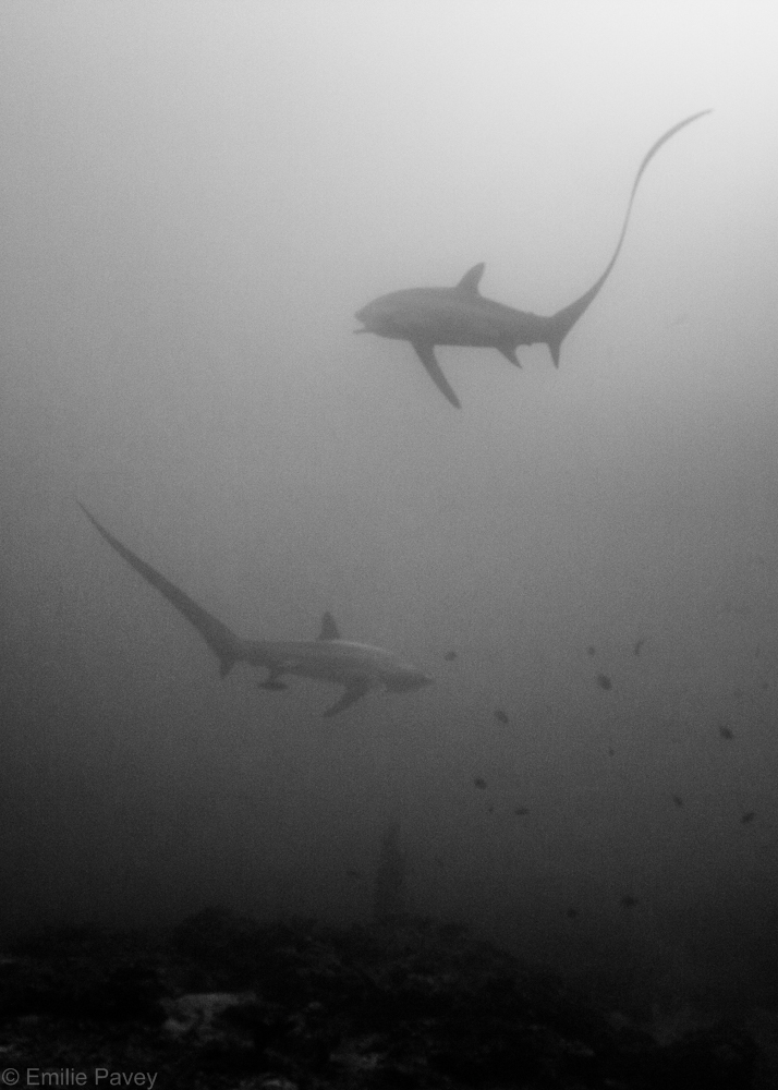 Thresher shark-7905