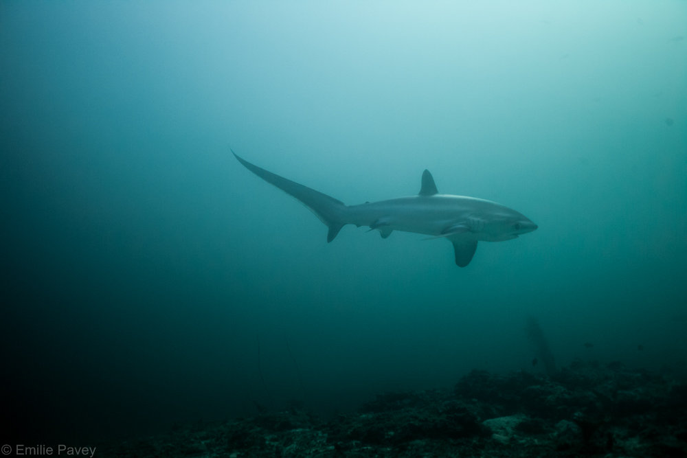 Thresher shark-7938
