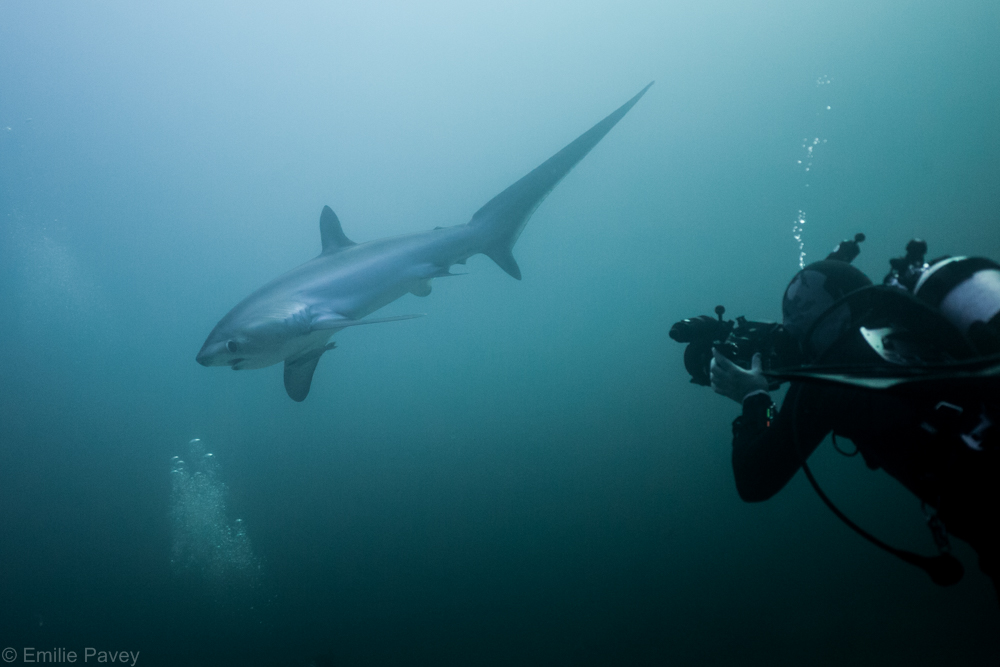 Thresher shark-7973