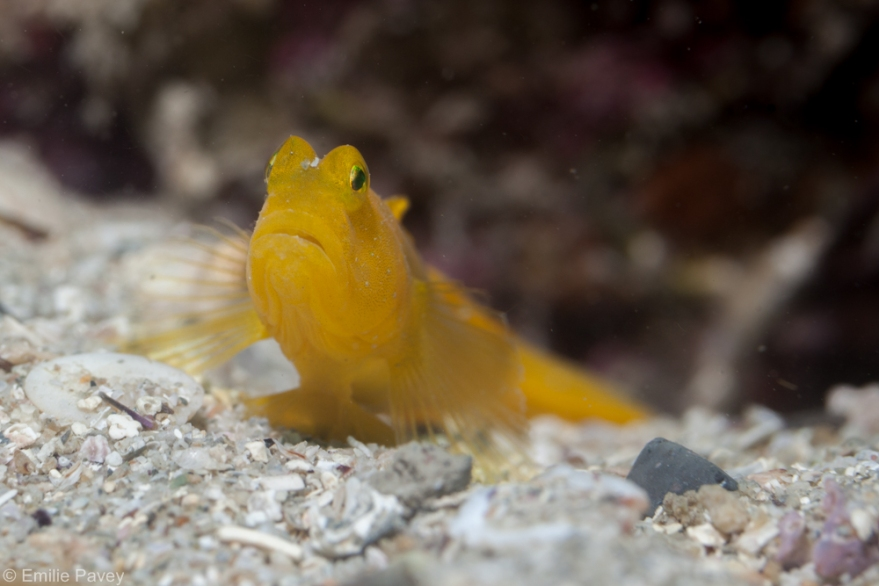 yellow goby hong kong