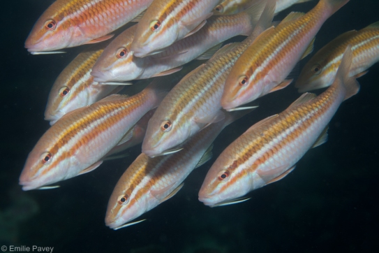 Pointed goatfish Hong Kong