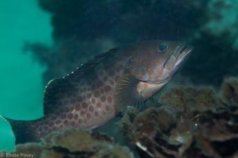 Duskytail grouper Hong Kong