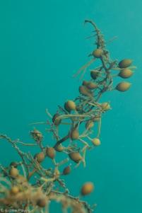 seaweed pak lap tsai
