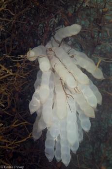 squid eggs pak lap tsai