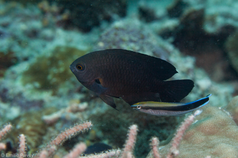 cleaner wrasse-9671