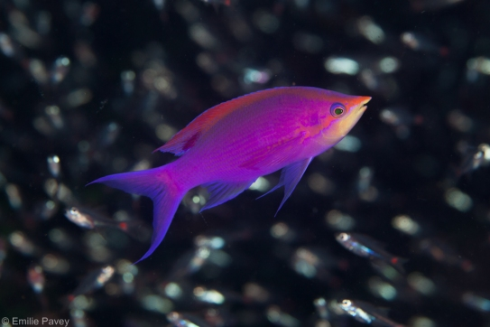Anthias moalboal