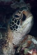 Turtle moalboal