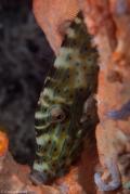 sleeping filefish moalboal