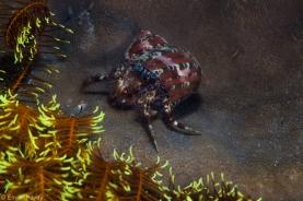 Hermit crab moalboal