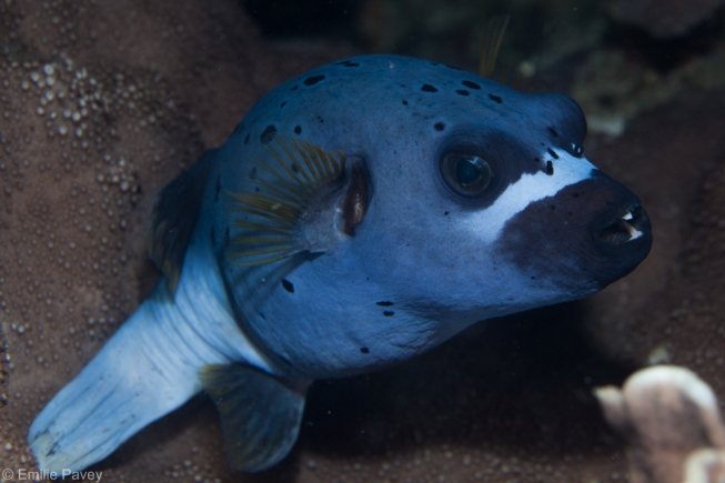 Pufferfish moalboal