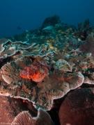 Scorpionfish sunken Island moalboal