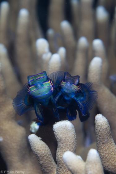 Mandarin fish mating Moalboal