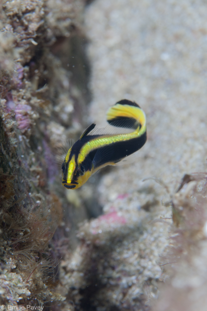 Juvenile sweetlips hong kong
