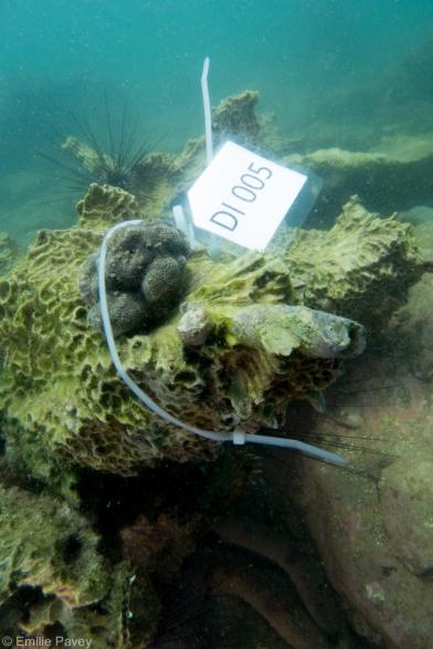 coral fragment secured 1