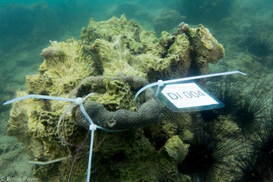 coral fragment secured 2