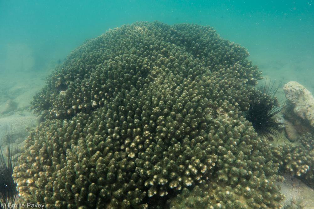 healthy coral 1