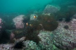 Anemones at Breaker Reef