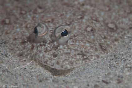 Flounder Hong Kong