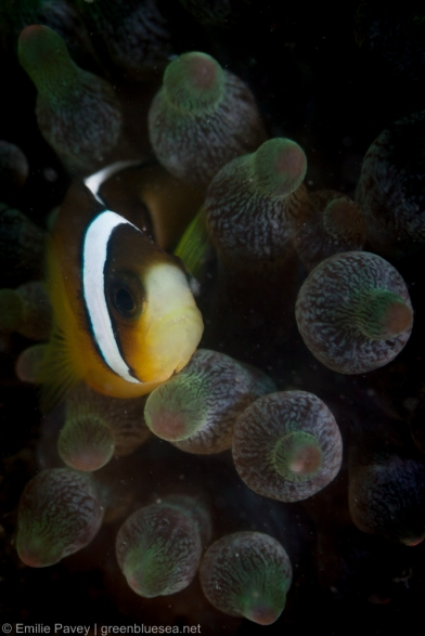 Clark's anemonefish (aka yellowtail clownfish)