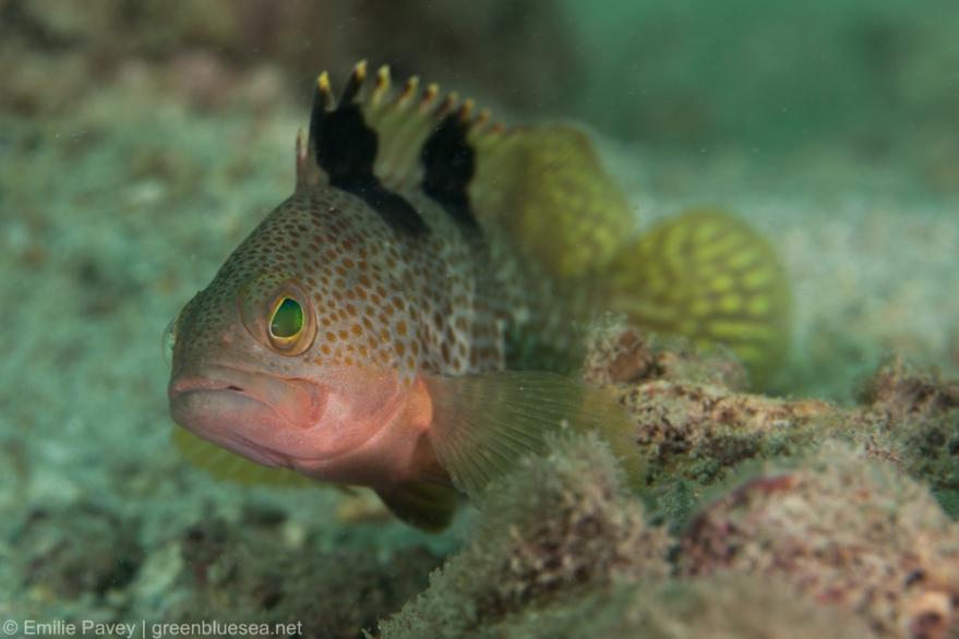 Rock grouper