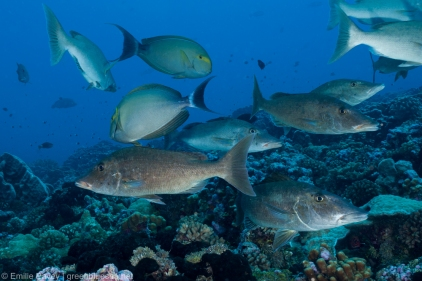 Emperors and surgeonfish