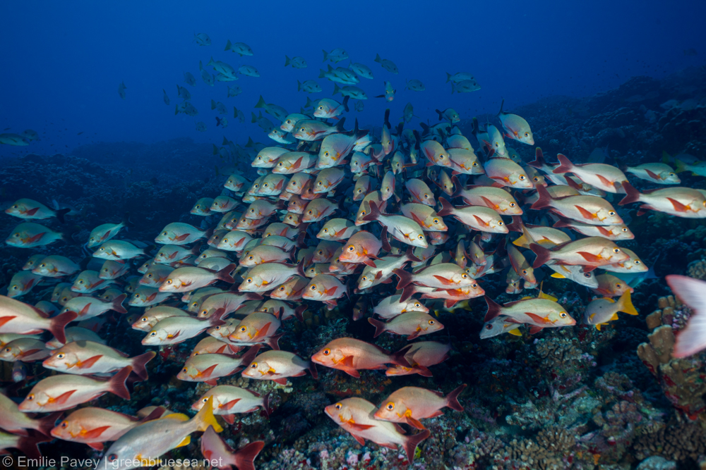 Fakarava: diving the north pass