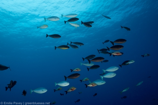 Unicornfish school