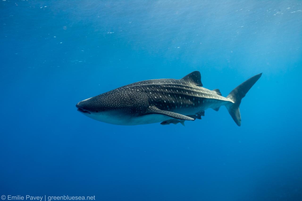 whale shark-8164