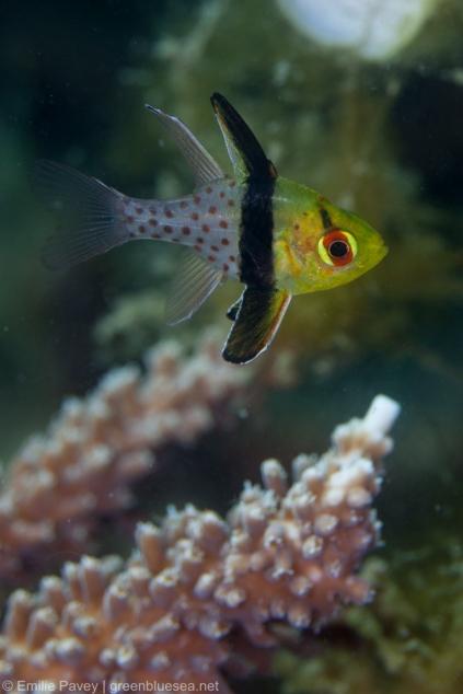 Baby pajama cardinalfish